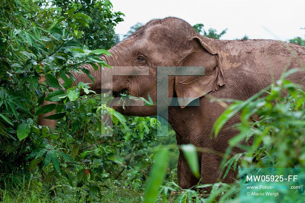 MW05925-FF   Thailand   Goldenes Dreieck   Reportage: Mahut und Elefant - Ein Bündnis fürs Leben   Asiatischer Elefant beim Fressen im Dschungel   ** Feindaten bitte anfragen bei Mario Weigt Photography, info@asia-stories.com **