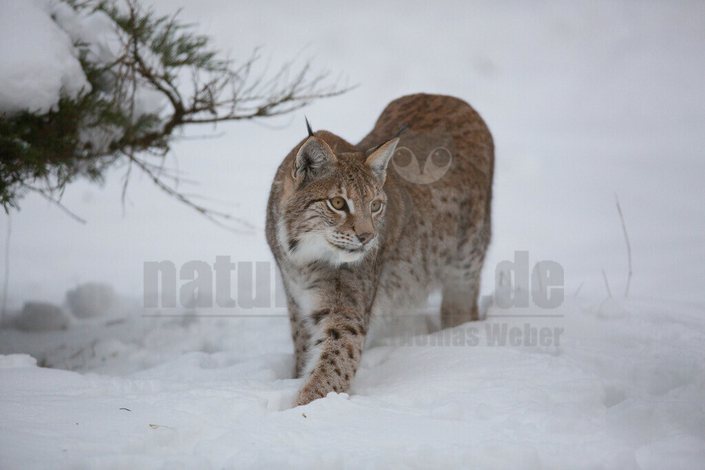 20130122150615   Die Luchse sind eine Gattung der Familie der Katzen. Alle vier heute lebenden Arten kommen auf der Nordhalbkugel vor: Der Eurasische Luchs ist in weiten Teilen Europas und Asiens verbreitet.