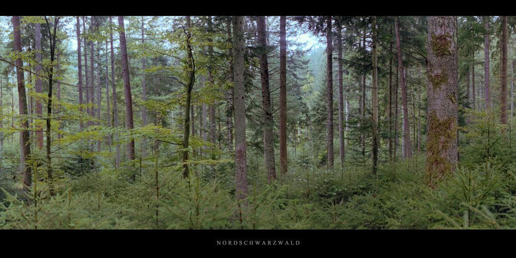 Nordschwarzwald | Wald mit Fichten, Buchen und Tannen im Norden vom Mittelgebirge Schwarzwald
