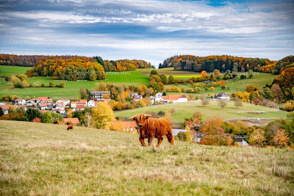 DSC_9451 | bli,Lautertal, Herbst, goldener Oktober hier zwischen Kolmbach und Raidelbach,  im Vordergrund grasende schottische Hochlandrinder, der Eindruck einer Modelleisenbahnlandschaft, Idylle, Odenwald, Highland Cattle, Kyloe, Bild: Thomas Neu