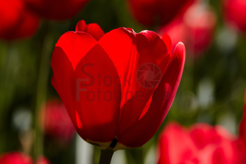 Tulpen 10