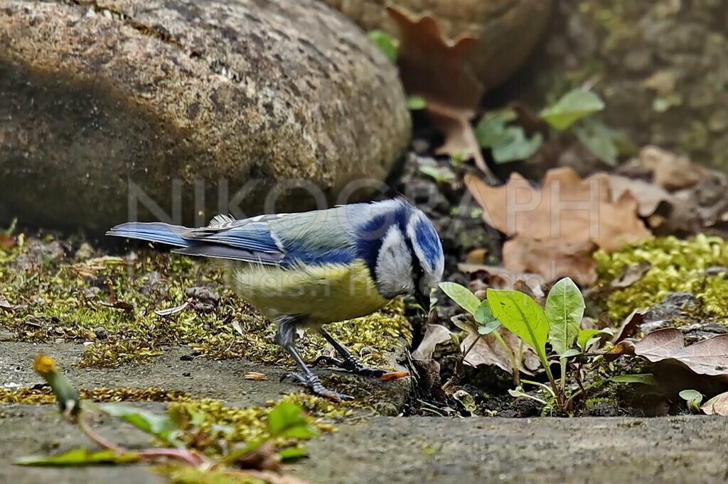 Blaumeise   Die Blaumeise ist an dem blau-gelben Gefieder zu erkennen. Insbesondere in Laub- und Mischwäldern Mitteleuropas ist die Blaumeise anzutreffen. Ebenso fühlt sich die Blaumeise in Gärten und Parkanlagen wohl.