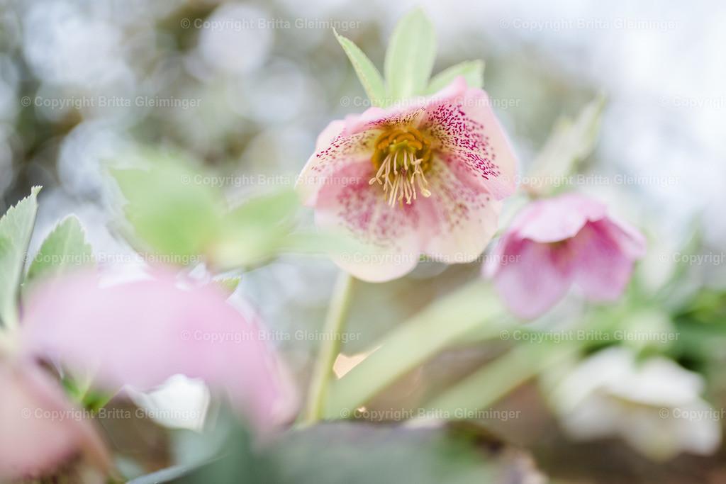 rosa Schneerose II | Die Schneerose, auch Christrose oder Schwarze Nieswurz genannt, hat ihre Hauptblütezeit von Februar bis April und war aufgrund ihrer frühen Blüte und ihrer auffälligen großen Blüten bereits im 16. Jahrhundert in den mitteleuropäischen Gärten zu finden.