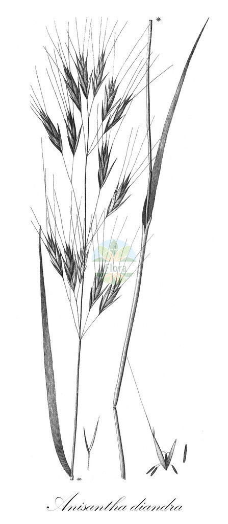 Historical drawing of Anisantha diandra | Historical drawing of Anisantha diandra showing leaf, flower, fruit, seed