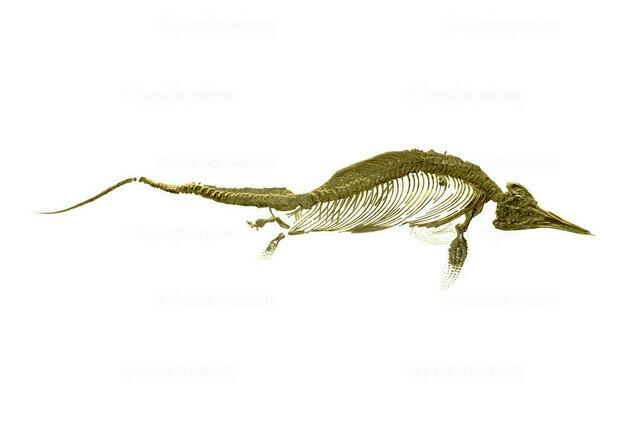 Fischsaurier (Fossil) | Fossile Überreste eines Fischsauriers über weißem Hintergrund