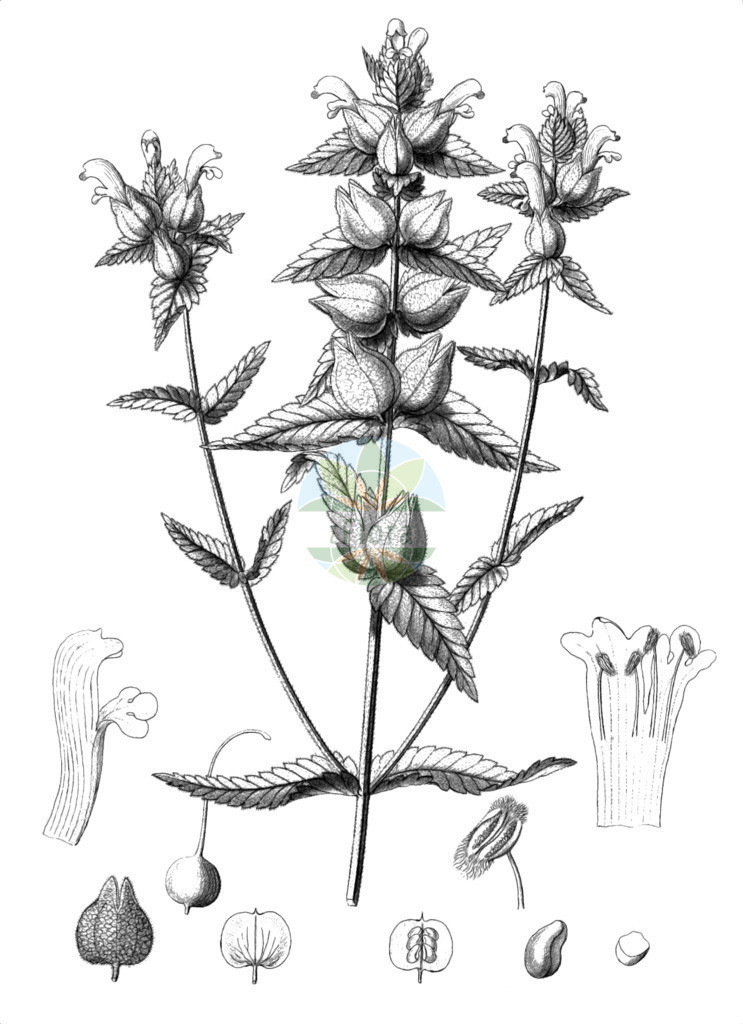 Rhinanthus alectorolophus (Zottiger Klappertopf - Greater Yellow Rattle) | Historische Abbildung von Rhinanthus alectorolophus (Zottiger Klappertopf - Greater Yellow Rattle). Das Bild zeigt Blatt, Bluete, Frucht und Same. ---- Historical Drawing of Rhinanthus alectorolophus (Zottiger Klappertopf - Greater Yellow Rattle).The image is showing leaf, flower, fruit and seed.