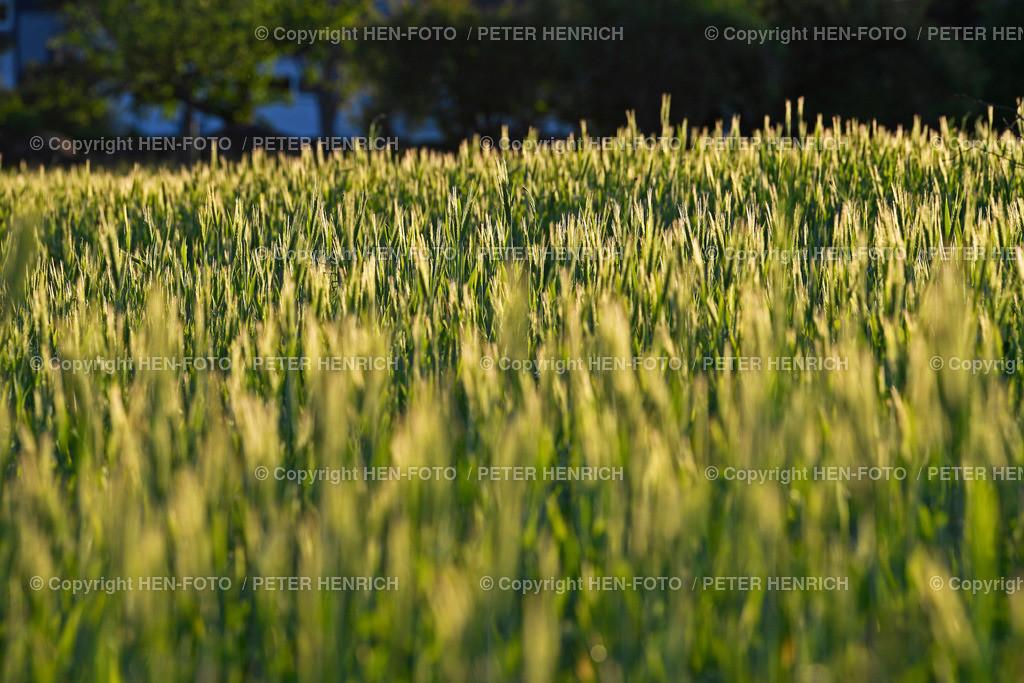 Getreidefeld in den Streuobstwiesen Darmstadt-Eberstadt copyright by HEN-FOTO   Abendsonne mit Getreidefeld in den Streuobstwiesen Darmstadt-Eberstadt copyright by HEN-FOTO Peter Henrich