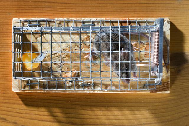 Maus in der Falle | DEU, Deutschland, Filderstadt, 20.10.2018, Nahaufnahme Strauch mit bunten herbstlichen Blaettern, © 2018 Christoph Hermann, Bild-Kunst Urheber 707707