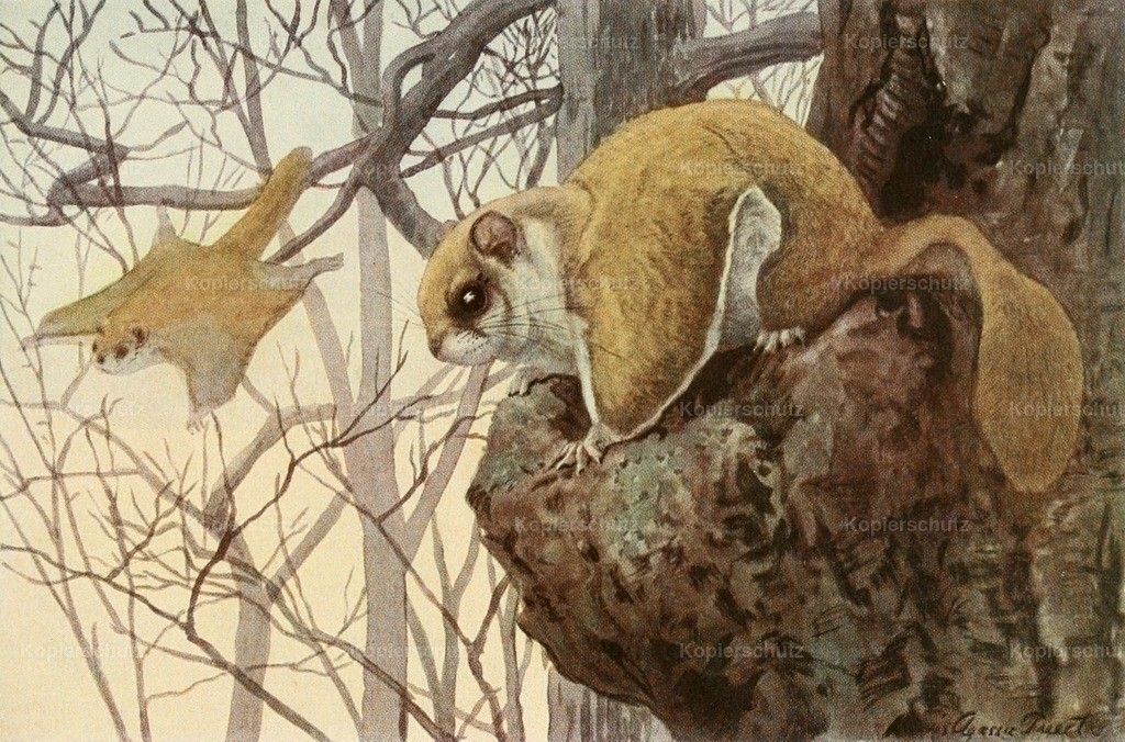 Fuertes_ L.A. (1874-1927) - Wild Animals of N. America 1918 - Flying Squirrel