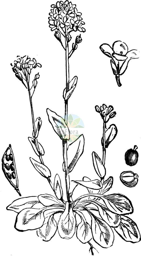 Noccaea caerulescens (Gebirgs-Hellerkraut - Alpine Penny-cress) | Historische Abbildung von Noccaea caerulescens (Gebirgs-Hellerkraut - Alpine Penny-cress). Das Bild zeigt Blatt, Bluete, Frucht und Same. ---- Historical Drawing of Noccaea caerulescens (Gebirgs-Hellerkraut - Alpine Penny-cress).The image is showing leaf, flower, fruit and seed.