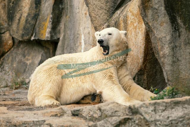 Tiere, Eisbär | Eisbär
