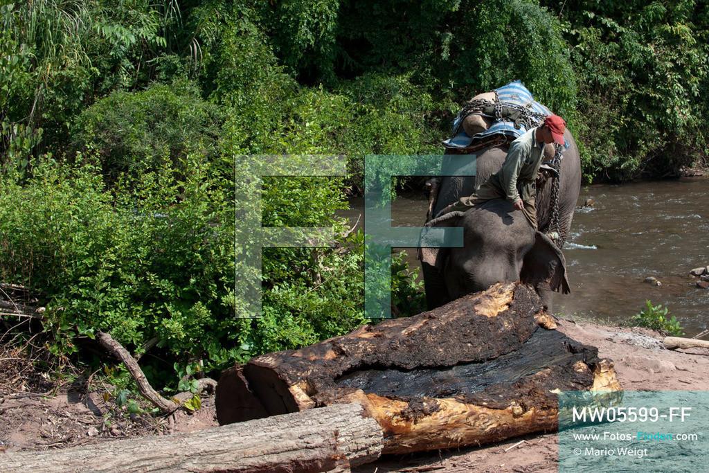 MW05599-FF | Laos | Provinz Sayaboury | Reportage: Arbeitselefanten in Laos | Arbeitselefant schiebt einen Baumstamm. Der Mahut (Tierpfleger) gibt die Kommandos dafür. Lane Xang -