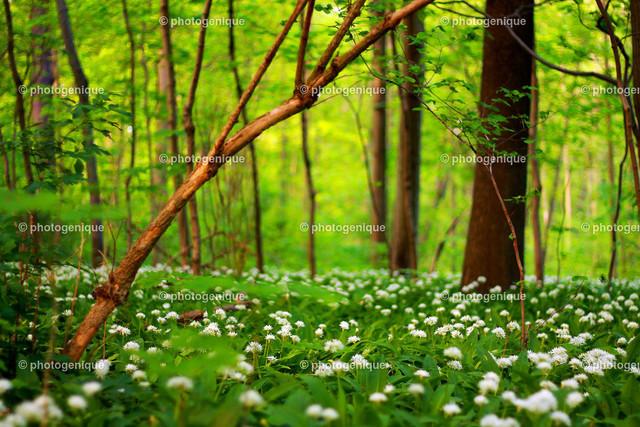 Bärlauchblüte in Leipzig | blühender Bärlauch im Leipziger Auwald bei Tageslicht