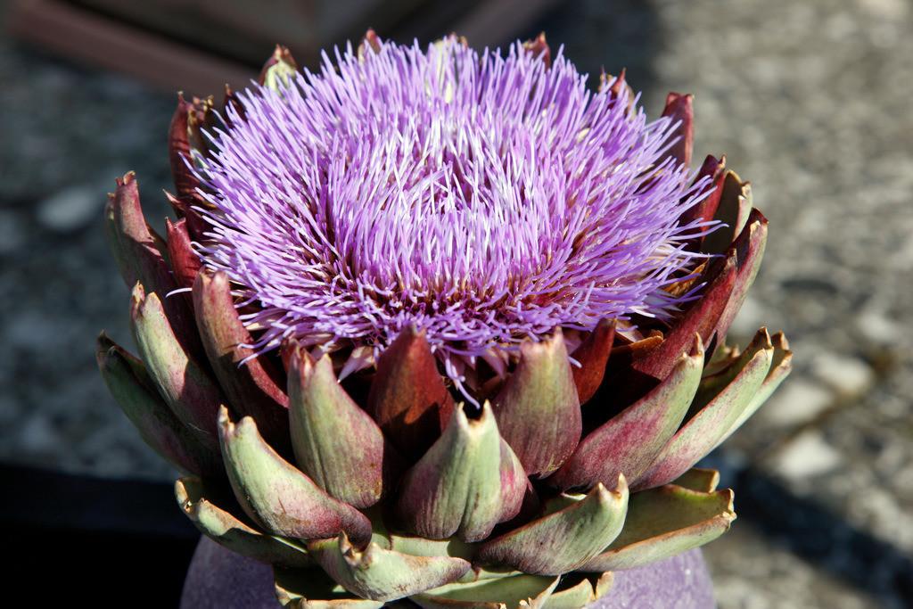 Artischocken Blütze | Violette Artischocken Blüte. Zimmerpflanze, gezüchtet . Deutschland