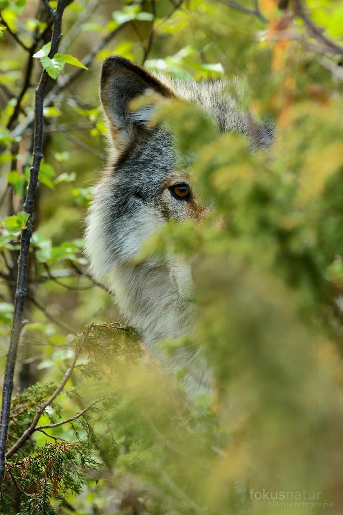 Wolfsportrait | Ein Wolf beobachtet aus der Deckung.