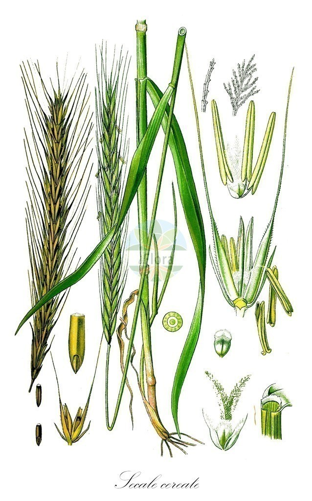 Historical drawing of Secale cereale (Rye) | Historical drawing of Secale cereale (Rye) showing leaf, flower, fruit, seed