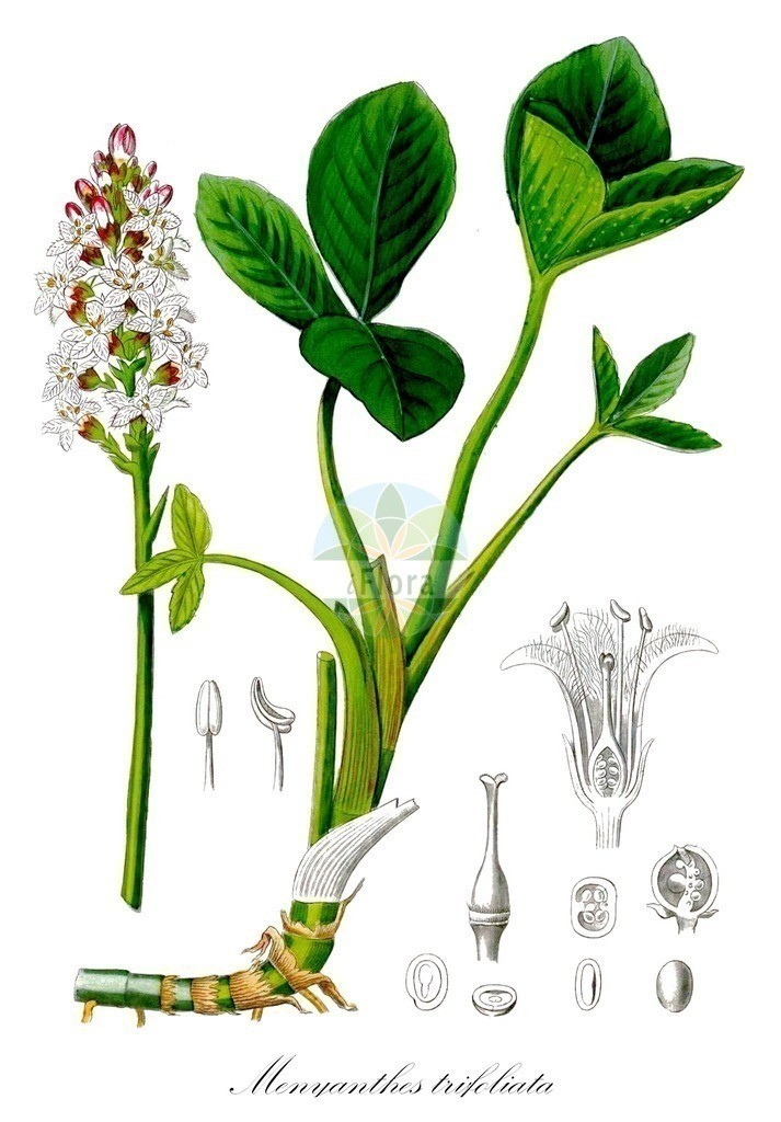 Historical drawing of Menyanthes trifoliata (Bogbean) | Historical drawing of Menyanthes trifoliata (Bogbean) showing leaf, flower, fruit, seed