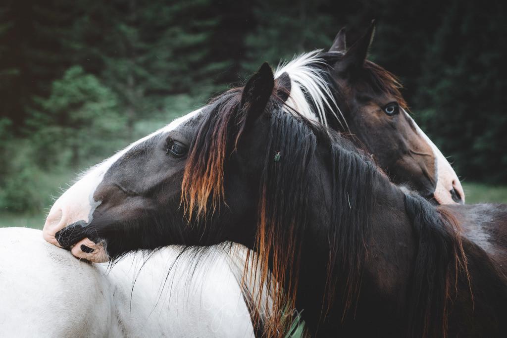 Zwei bunte Pferdeköpfe | Zwei bunte Pferde beim gegenseitigen Putzen am Rücken