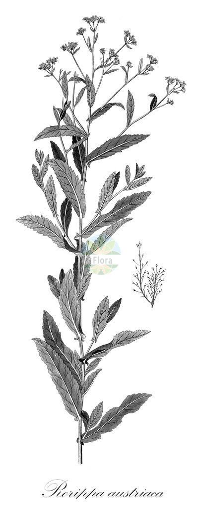 Historical drawing of Rorippa austriaca (Austrian Yellow-cress) | Historical drawing of Rorippa austriaca (Austrian Yellow-cress) showing leaf, flower, fruit, seed