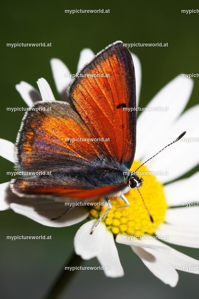 Lycaena hippothoe-003