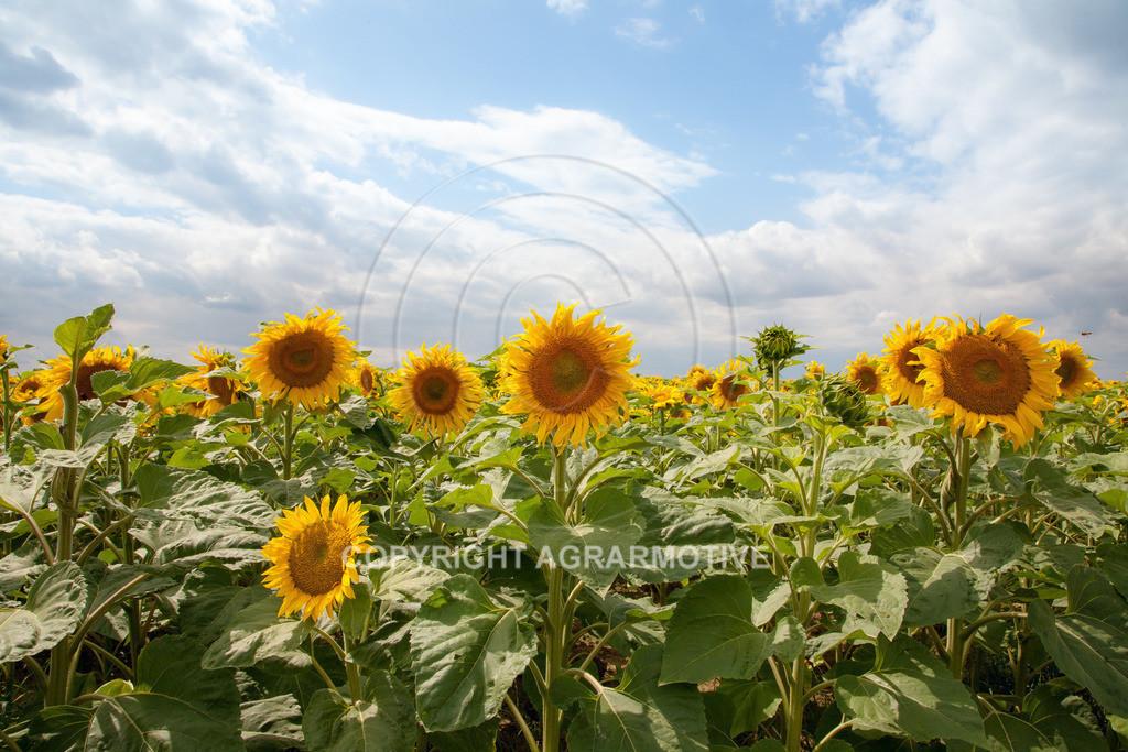 20090711-IMG_3772   blühende Sonnenblumen im Sommer - AGRARMOTIVE Bilder aus der Landwirtschaft