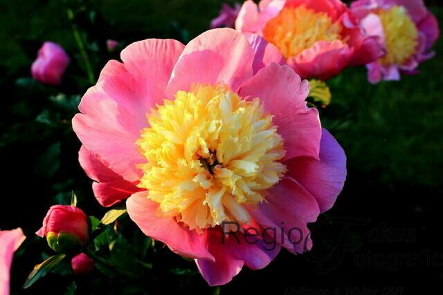 Pfingstrose | Üppige Pfingstrosenblüte