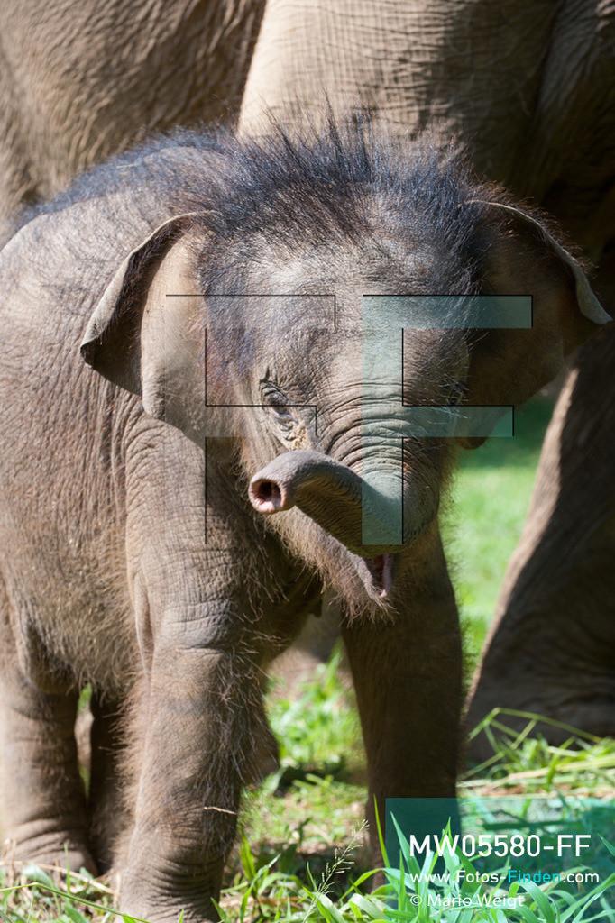 MW05580-FF | Thailand | Lampang | Reportage: Krankenhaus für Elefanten | Elefantenbaby Dantae ist acht Monate alt.   ** Feindaten bitte anfragen bei Mario Weigt Photography, info@asia-stories.com **