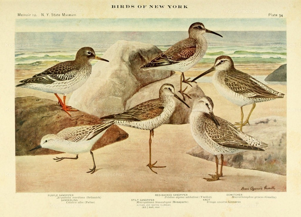 Fuertes_ L.A. (1874-1927) - Birds of NY 1914 - Sandpipers 1