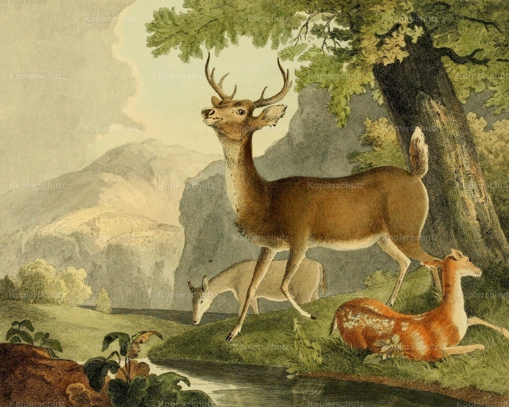 Doughty_ T. (1793-1856) - Cabinet of Natural History 1830 - Common Deer