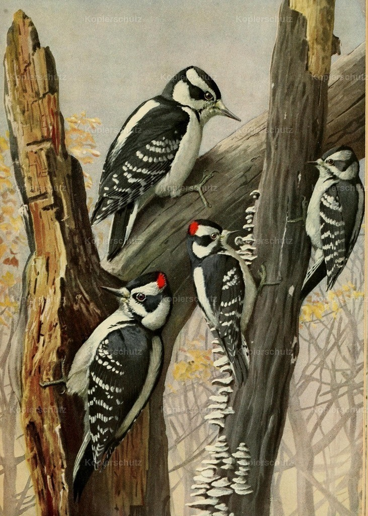 Fuertes_ L.A. (1874-1927) - Birds of Massachusetts 1925 - Hairy _ Downy Woodpeckers