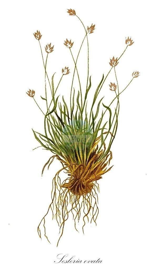 Historical drawing of Sesleria ovata (Smallflowered Moorgrass) | Historical drawing of Sesleria ovata (Smallflowered Moorgrass) showing leaf, flower, fruit, seed