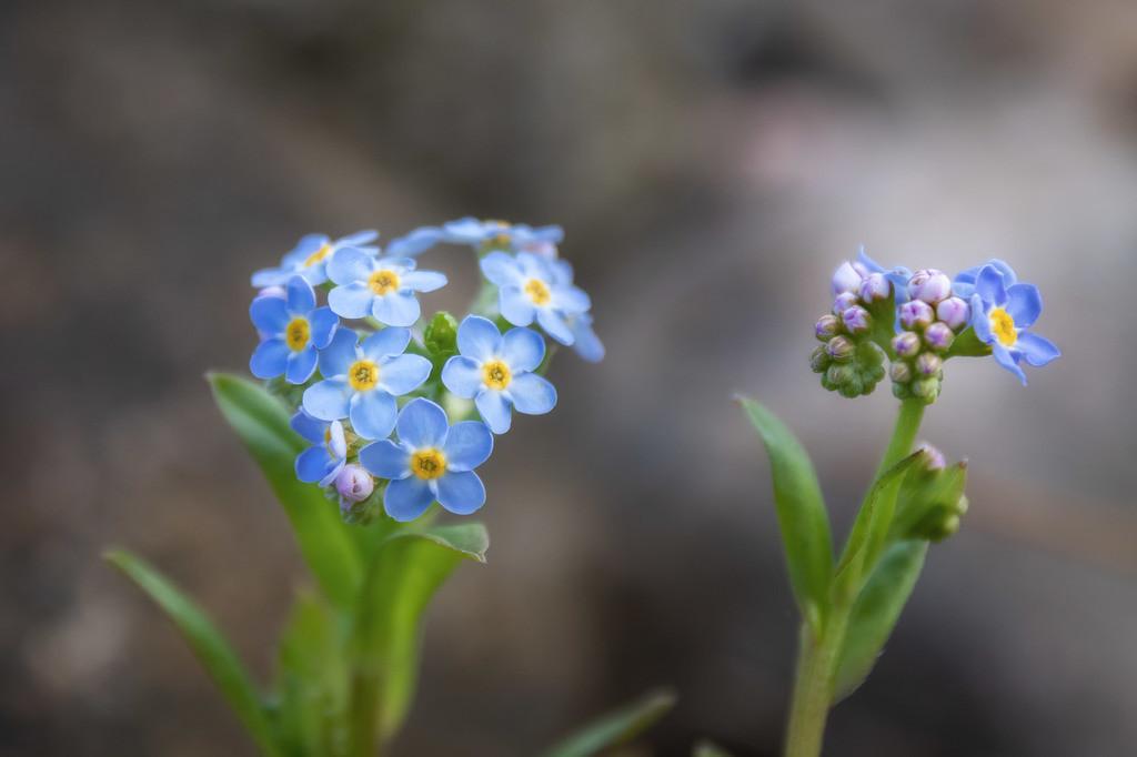 Sumpfvergissmeinnicht   Blumenmotiv
