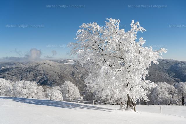 Winter im Schwarzwald | Eingeschneiter Baum auf dem Schauinsland bei Freiburg bei schönstem Winterwetter.