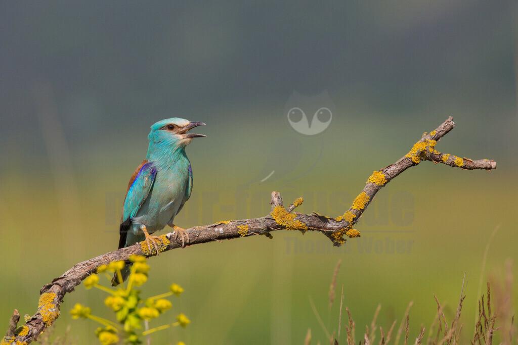 20140523_155615-2 | Die Blauracke ist ein etwa hähergroßer Vertreter der Racken. Im deutschen Sprachraum wird die Art auch Mandelkrähe genannt. Der mit türkisfarbenen und azurblauen Gefiederbereichen sehr auffallend gefärbte Vogel ist in Europa der einzige Vertreter dieser Familie.