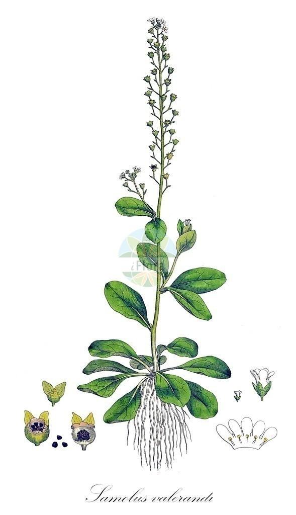 Historical drawing of Samolus valerandi (Brookweed) | Historical drawing of Samolus valerandi (Brookweed) showing leaf, flower, fruit, seed