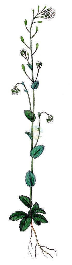 Drabella muralis (Mauer-Felsenbluemchen - Wall Whitlowgrass) | Historische Abbildung von Drabella muralis (Mauer-Felsenbluemchen - Wall Whitlowgrass). Das Bild zeigt Blatt, Bluete, Frucht und Same. ---- Historical Drawing of Drabella muralis (Mauer-Felsenbluemchen - Wall Whitlowgrass).The image is showing leaf, flower, fruit and seed.