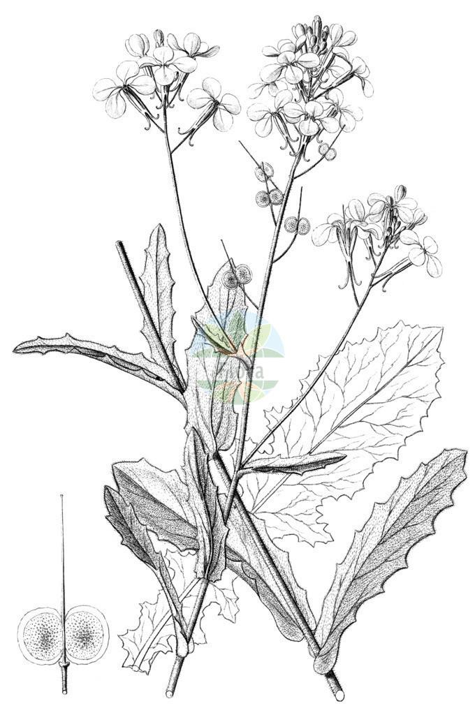 Biscutella cichoriifolia   Historische Abbildung von Biscutella cichoriifolia. Das Bild zeigt Blatt, Bluete, Frucht und Same. ---- Historical Drawing of Biscutella cichoriifolia.The image is showing leaf, flower, fruit and seed.