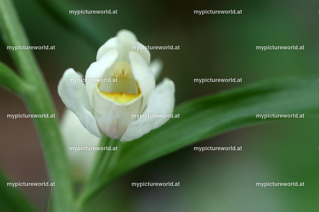 Weißes Waldvögelein-001