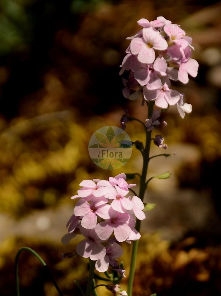 Aethionema grandiflorum | Foto von Aethionema grandiflorum. Das Bild zeigt Blatt und Bluete. Das Foto wurde in Besancon, Bourgogne-Franche-Comté (Praefektur), Frankreich aufgenommen. ---- Photo of Aethionema grandiflorum.The image is showing leaf and flower.The picture was taken in Besançon, Bourgogne-Franche-Comté.