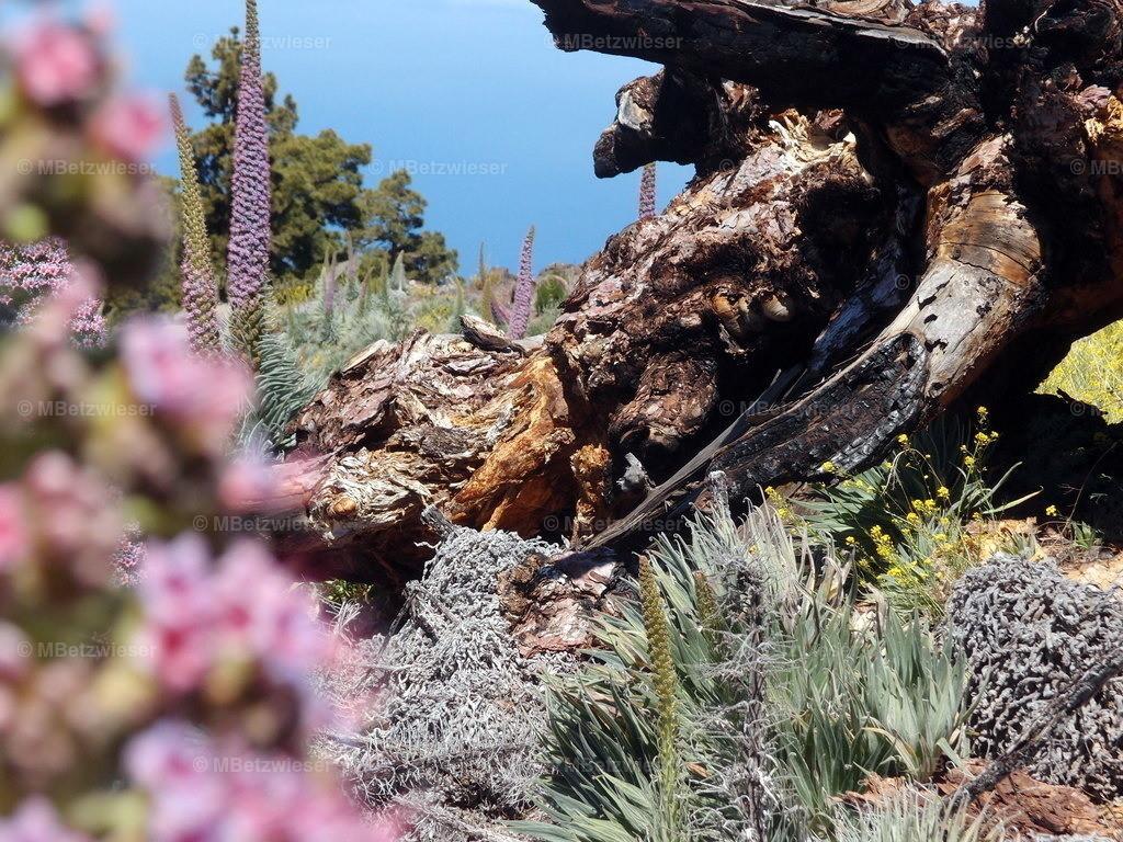 P4295291   Eine große Fläche mit hunderten Natternköpfen auf dem Roque de Los Muchachos