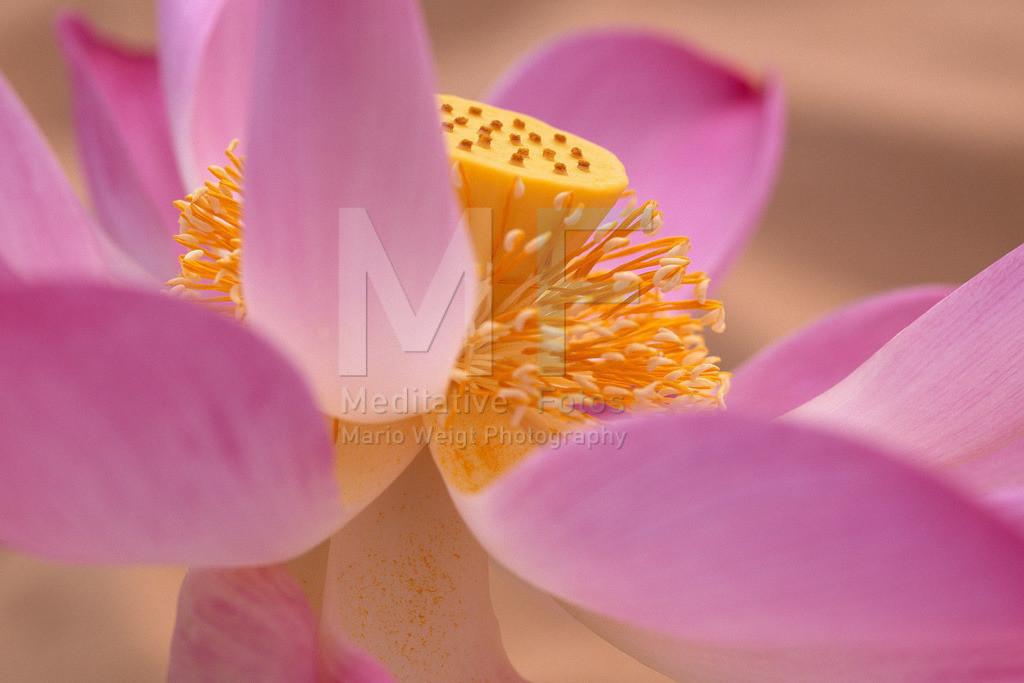 MW1003-2361 | Lotusblume: Symbol der Reinheit und des Buddhismus