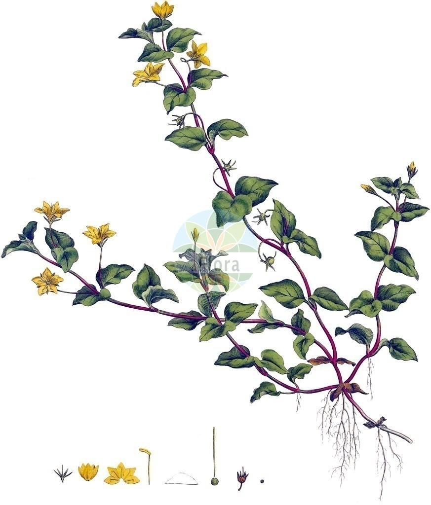 Lysimachia nemorum (Hain-Gilbweiderich - Yellow Pimpernel)   Historische Abbildung von Lysimachia nemorum (Hain-Gilbweiderich - Yellow Pimpernel). Das Bild zeigt Blatt, Bluete, Frucht und Same. ---- Historical Drawing of Lysimachia nemorum (Hain-Gilbweiderich - Yellow Pimpernel).The image is showing leaf, flower, fruit and seed.