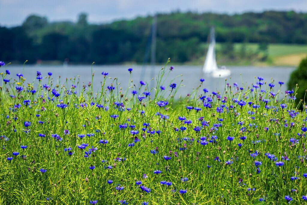 Frühling an der Schlei | Kornblumen in Winnemark an der Schlei