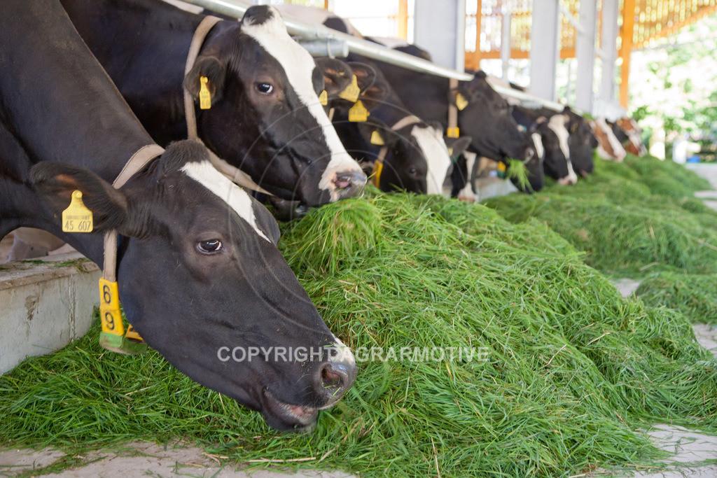 20110627-IMG_3031 | Milchkühe im Boxenlaufstall