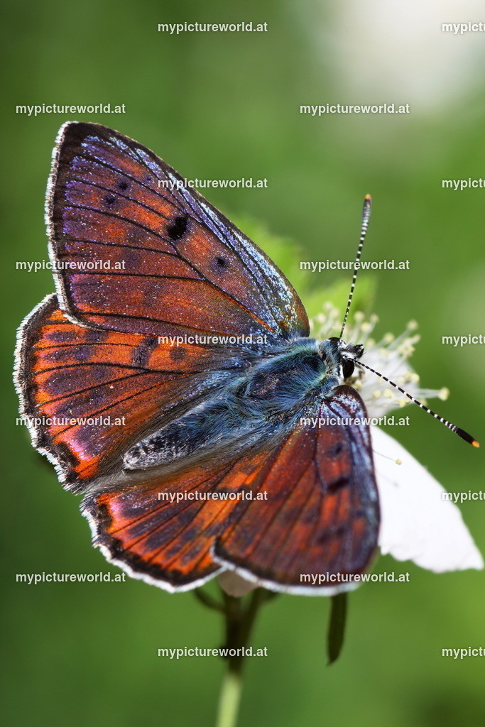 Lycaena alciphron-007