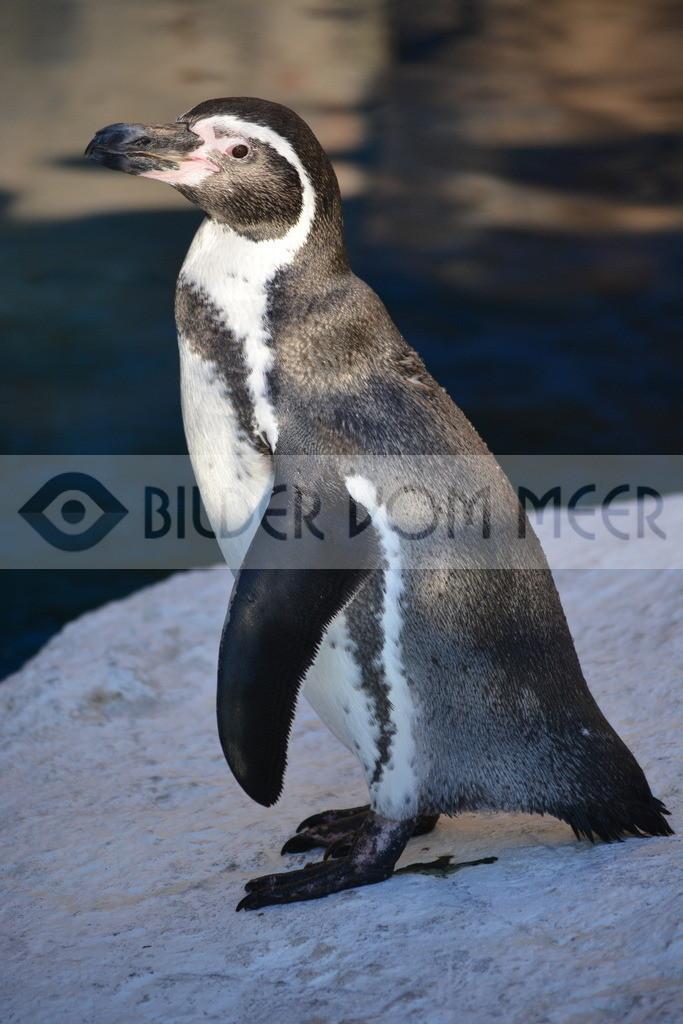 Pinguine Bilder | Foto Pinguin Spanien