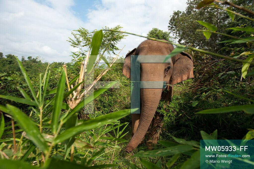 MW05933-FF | Thailand | Goldenes Dreieck | Reportage: Mahut und Elefant - Ein Bündnis fürs Leben | Asiatische Elefanten fressen 200 bis 250 kg Grünzeug pro Tag.  ** Feindaten bitte anfragen bei Mario Weigt Photography, info@asia-stories.com **