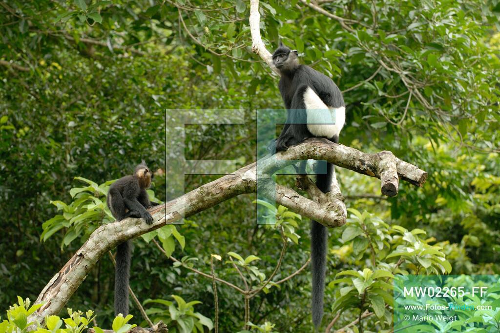 MW02265-FF   Vietnam   Provinz Ninh Binh   Reportage: Endangered Primate Rescue Center   Delacour-Languren - die Affen mit weißen Shorts. Der Deutsche Tilo Nadler leitet das Rettungszentrum für gefährdete Primaten im Cuc-Phuong-Nationalpark.   ** Feindaten bitte anfragen bei Mario Weigt Photography, info@asia-stories.com **