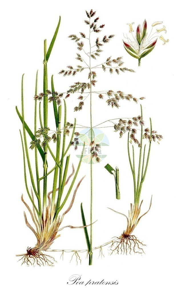 Historical drawing of Poa pratensis (Smooth Meadow-grass) | Historical drawing of Poa pratensis (Smooth Meadow-grass) showing leaf, flower, fruit, seed