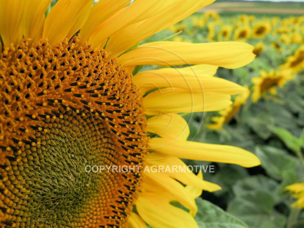 20090711-IMG_4306   blühende Sonnenblumen im Sommer - AGRARMOTIVE Bilder aus der Landwirtschaft